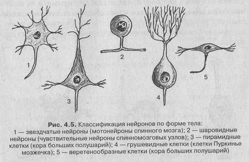 Нервная ткань: нейроны и глиальные клетки (глия)